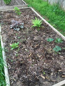 New shade bed looking good.  These five plants should cover the entire bed by the end of summer.