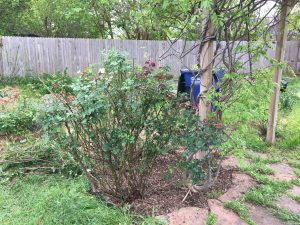 More rose pruning.  Wisteria is beginning to bloom.